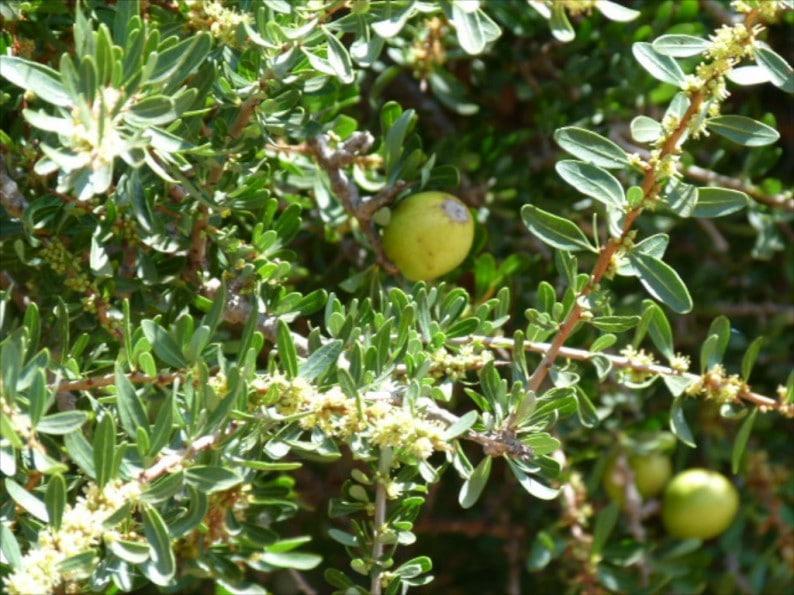 Arganbaum mit Frucht
