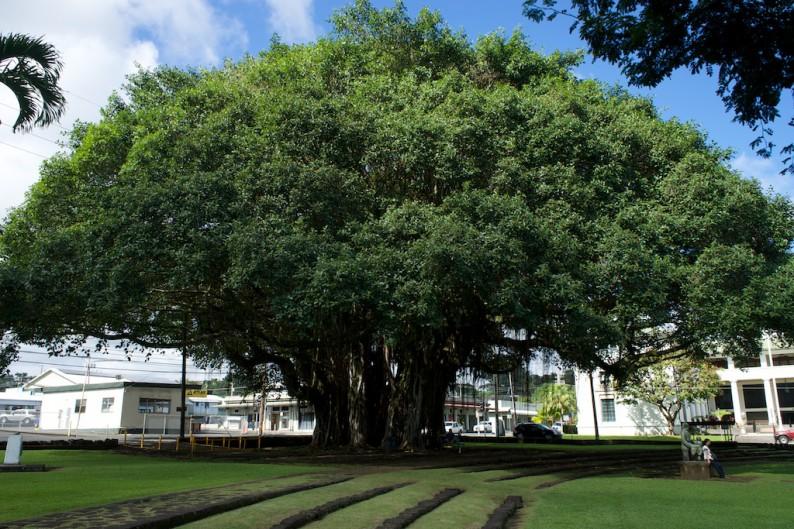 Big Island - Hilo Banyan Baum im Park