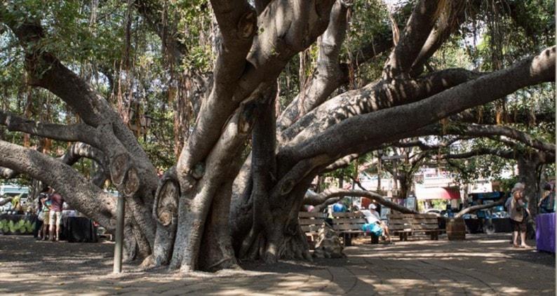 Lahaina- der gewaltige Banyan Tree
